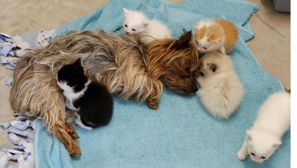 Йоркширский терьер заменил маму котятам-сиротам - bigmir)net