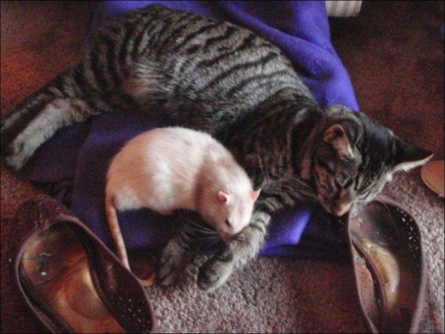 породы кошек которые ловят мышей и крыс