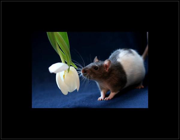 знакомство в год крысы