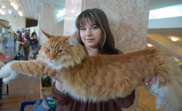 большие коты мейн-кун фото