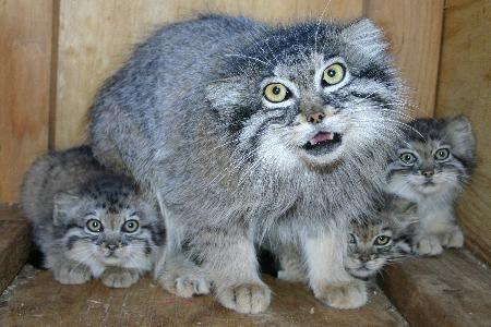 Котята манула купить собиратель проездных билетов называется