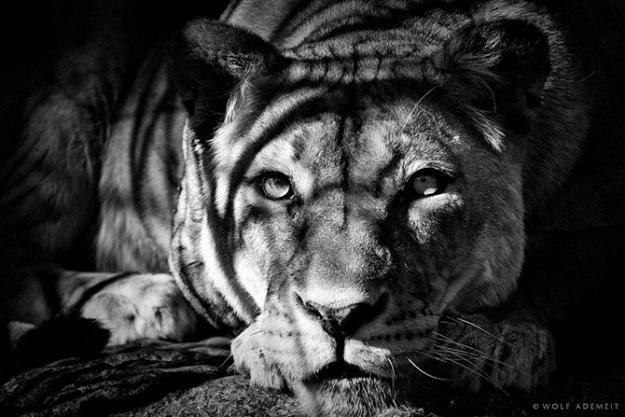 черно-белое фото зверей