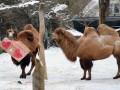 Животные недели: влюбленные верблюды и грифы-футболисты