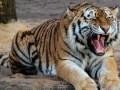 Нападение тигра на людей в Индии попало на видео