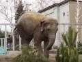 В Харьковском зоопарке слоны нашли новое применение елкам
