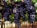 Производство вин в Украине упало более чем на 40%