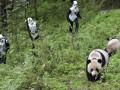 Фотогалерея: В образе панды. Перевоплощение китайских зоологов