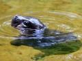 Малыш-бегемотик учится плавать: умилительное видео