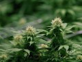 В Люксембурге легализуют марихуану