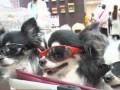 Японцы массово начали брать с собой на работу домашних животных