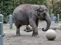 Животные недели: слон-футболист и стадо овец у Эйфелевой башни