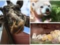 Животные недели: любопытный жираф, львиная семья и панда-именинница