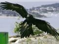 В Австралии в машину к пенсионеру влетел орел