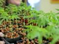 Стартап превратит шоколадную фабрику в ферму марихуаны