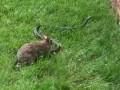 Мамина сила: крольчиха прогнала опасную змею от своих малышей
