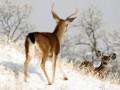 В Швеции поезд сбил 48 северных оленей
