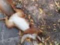 В Голосеевском парке расстреляли 10 белок