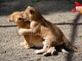 В новосибирском зоопарке родились двое лилигрят