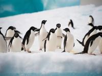 Журналисты спасли погибающих в Антарктиде пингвинов