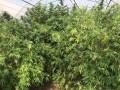 В Одесской области изъяли наркотиков на четыре миллиона гривен