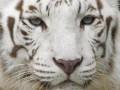 В Чили белый тигр напал на служителя зоопарка