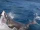 Битва белых акул попала на видео в Австралии