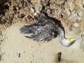 На побережье Азовского моря массово гибнут бакланы
