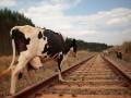 В России поезд протаранил стадо коров