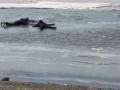 Появилось видео, как трое мужчин спасли провалившегося под лед пса