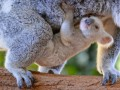 В зоопарке Австралии родилась редкая белая коала