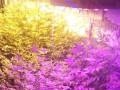 В теплице под Черниговом мужчина выращивал коноплю и галлюциногенные грибы