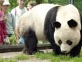 В берлинском зоопарке умерла самая старая в мире панда