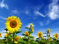 В Украине урожай подсолнечника поставил рекорд