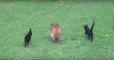 Двое котят за еду были поводырями у слепого енота