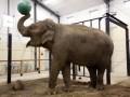 Под Парижем сбежавший из вольера слон затоптал пенсионера