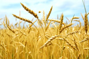 Украина побила исторический рекорд по экспорту зерна