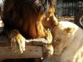 Исцеление любовью: История спасения двух львов