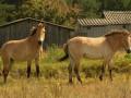 Из Чернобыльской зоны забрели лошади Пржевальского