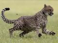 В России гепард напал на детей