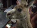 Австралиец еле выгнал кенгуру из своего фургона