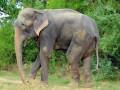 50 лет рабства окончены: Слон расплакался во время освобождения из неволи (фото, видео)