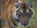 В Индии тигр устроил погоню за туристами