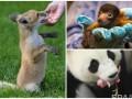 Животные недели: игривый лисенок, малыш-лемур и новорожденная панда