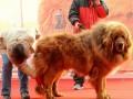 Продана самая дорогая собака в мире