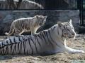 В ялтинском зоопарке от холода умерли два детеныша белой тигрицы Тигрюли