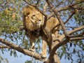 Животные недели: Лев на высоте и горемычный котенок (ФОТО)