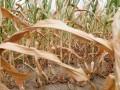 Украине прогнозируют частые засухи и суховеи
