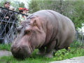 В Киевском зоопарке умер старейший в мире бегемот