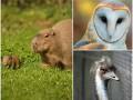 Животные недели: малыш-капибара, обаятельная сипуха и задумчивый эму