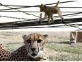 Животные недели: макака на проводах и гепард-баскетболист